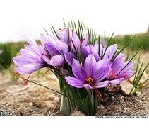 Flor de açafrão. A produção de 1 kg de Açafrão exige a plantação de 1.500 flores ou mais, custa em torno de 1640 reais