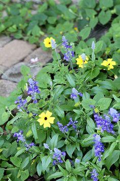 Victoria Blue Salvia planted as a companion plant alongside Black-eyed Susan vine