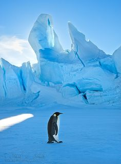 Lone Emperor Penguin on the sea ice, Weddell Sea, Antarctica, with an iceberg frozen in place behind him/her.  Please check us out on Facebook  Link to find learn about Workshops and Tours