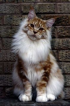 Solly is a beautiful red silver with white male Maine Coon… www. Solly is a beautiful red silver with white male Maine Coon… www. Cute Cats And Kittens, I Love Cats, Crazy Cats, Cool Cats, Kittens Cutest, White Kittens, Funny Kittens, Black Cats, Pretty Cats