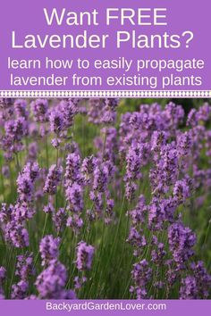 Every gardener would be excited to get free plants. Here's how to get free lavender plants for landscaping your front yard, or to place in a container on your patio. Growing lavender is easy when you know a few tricks: find them here. #lavender #lavenderflowers #lavenderplants #freeplants #gardening #landscaping #landscape #gardeningtips