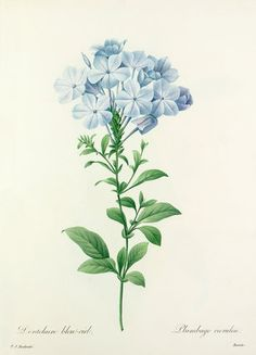 Dentelaire bleu-ciel : Plumbago caerulea, Redouté, Pierre Joseph (1759-1840) (Artist)
