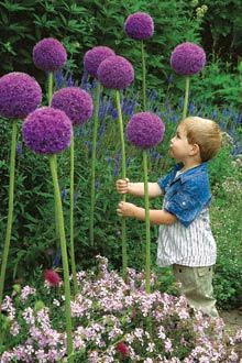 Would love to plant these around our home to show our Rett Syndrome awareness color! Purple! Gladiator Allium flowers.