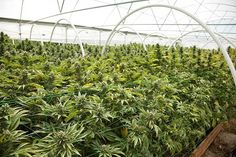 Canada: This Small-Cap Marijuana Stock, Up 3,800% In 2 Years, Has Budding Expansion Plans  Few if any industries are growing as consistently quickly as the legal marijuana industry, and that's a big reason marijuana… [Read More]  #InternationalCannabisNews