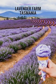 Tasmania Road Trip - Lavender Fields and Bay of Fires #tasmania #roadtrip #travel #australia #traveltips