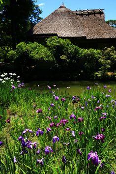京都 梅宮大社 東神苑 咲耶池 池中亭 花菖蒲 Umenomiya-Taisha Shrine, Kyoto--irises in bloom