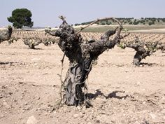 Bodegas Olivares' ungrafted Monastrell vines in Jumilla Spain--how can a plant (and soil) so old and ugly produce delicious wine? amazing!