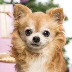 Long haired Chihuahua cutie
