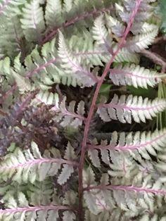 Athyrium niponicum 'pictum' (Japanese painted fern) -shade garden Japanese Painted Fern, May Garden, Violet Garden, Forest Landscape, Garden Pictures, White Gardens, Shade Garden, Color Mixing, Plant Leaves