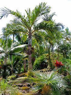 Bentinkia condapana Marcus garden, Hawaii