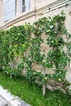 Espalier fruit trees along wall. When you can't go out go up!