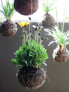 Kokedama is the Japanese art form of enclosing a plants root mass in moss.Kokedama means moss ball. This trend is growing and can be quite fun.A current spin off of the Kokedama trend is String Gardening. The moss balls are suspended with string. Moss Garden, Garden Art, Garden Plants, Garden Design, Veg Garden, Ikebana, Air Plants, Indoor Plants, Potted Plants