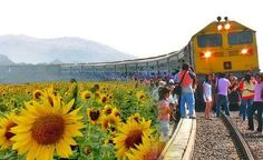 Train Trip to the Sunflower Fields