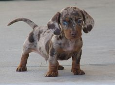 Aother Dachshund Puppy, Gorgeous Blue Eyes