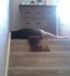 Airedale Sleep Position # 1