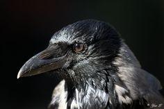 Crow Close Up by Yair-Leibovich.deviantart.com on @deviantART