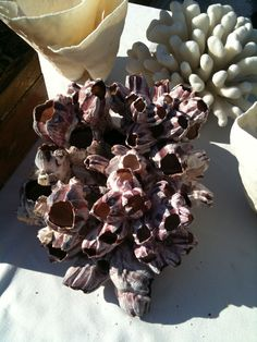 discovered at Alameda Flea Market, beautiful violet purple barnacles. Great natural decor for an elegant living space