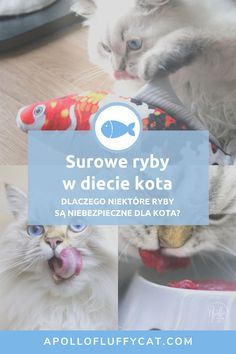 Dlaczego koty uwielbiają ryby? Czy ryby są potrzebne w diecie kota? Czy wszystkie ryby są zdrowe? Czy kot może jeść surowe ryby? Których ryb należy unikać i dlaczego? Dowiedz się więcej o rybach w diecie kota w moim artykule. Fluffy Cat, Blog, Animals, Diet, Animales, Animaux, Blogging, Animal, Animais