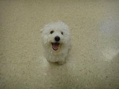 NIKKI is an adoptable Bichon Frise Dog in Bismarck, ND. Hello everyone! My name is Nikki and I am a 15 months young neutered Bichon Frise . I am very friendly and I do get along with other dogs. I am ...