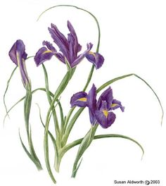 Dutch iris, Watercolour