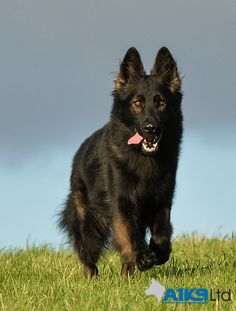 #A1K9 #family #protectiondog Cir, one of our stunning Czech import #GermanShepherd males. #TopDogs @ A1K9