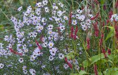 Aster turbinellus Aster, Nursery, Garden, Plants, Ideas, Garten, Baby Room, Lawn And Garden, Gardens