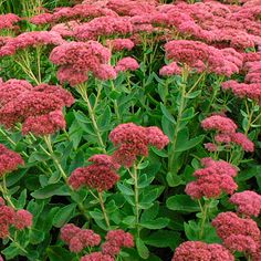 Sedum 'Autumn Joy'  I have these spread out in all of my gardens.  They add some nice color to the gardens after most other plants have passed.