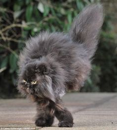 """Caffrey the 2-legged cat gets around just fine.  There's a video of him """"walking"""" (it's more like hopping) on the linked web page."""