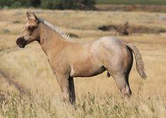 Most Beautiful Horses, Beautiful Things, Farm Animals, Cute Animals, Wild Mustangs, Palomino, Donkeys, Working Dogs, Saddles
