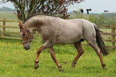 Roan Criollo stallion