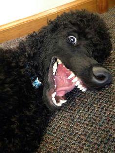 """""""Scared ya, huh?"""" #dogs #pets #poodles Facebook/sodoggonefunny badasspoodle.com"""