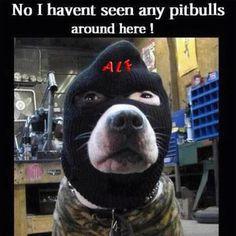 Pitbulls undercover