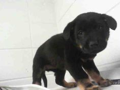 ZANAIDA Rottweiler & Labrador Retriever Mix • Baby • Female • Small City of Houston, BARC Animal Shelter & Adoptions Houston, TX