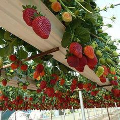A better way to grow strawberries and other more hanging fruits and berries is…
