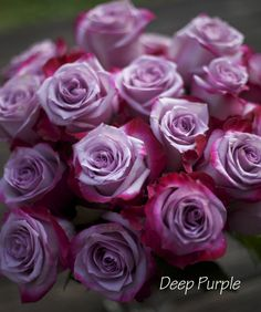 Deep Purple Rose - a bi-color Magenta and Lavender Rose by http://www.harvestwholesale.com