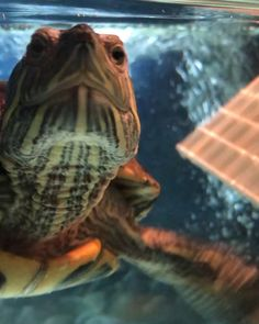 Arnon wants to wish everyone a Happy Turtle Tuesday! 🐢❤️  #redearedslider #redearedsliders #redearedsliderturtle #redearedslidersofinstagram #redearedsliderturtles #turtle #turtles #turtlesofinstagram #aquaticturtle #aquaticturtles #aquarium #reptile #reptiles #reptilesofinstagram #reptilecare #herp #herps #herpsofinstagram #herpetology #exoticpet #exoticpets #pet #petsofinstagram #animals  #animallovers #animalphotography #newhopeherp Cute Baby Turtles, Small Turtles, Turtle Care, Pet Turtle, Red Eared Slider Turtle, Turtle Aquarium, Happy Turtle, Turtle Habitat, Turtle Images