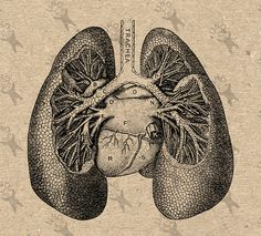Vintage Image Human Anatomical Lungs, Retro Drawing, Instant Download $2.80