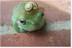 La grenouille & l'escargot - The frog and the snail sounds so classy in french. Funny Frogs, Cute Frogs, Baby Animals, Funny Animals, Cute Animals, Whites Tree Frog, In Natura, Frog And Toad, Tier Fotos