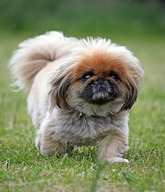 The Pekingese is a small, well-balanced, compact dog. Toy Dog Breeds, Small Dog Breeds, Small Dogs, Flat Faced Dogs, Pekingese, Dog Toys, Cuddling, Cute Animals, Nature