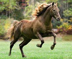 Rocky Mountain Horse stallion, in action. photo: Mark Barrett.