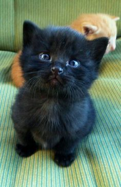 These cute kittens will brighten your day. Cats are awesome companions. Cute Baby Cats, Kittens And Puppies, Cute Little Animals, Cute Cats And Kittens, Cute Funny Animals, Kittens Cutest, Funny Cats, Ragdoll Kittens, Tabby Cats