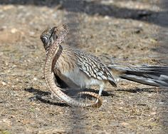 R3Greater Roadrunner Battles Snake | Flickr - Photo Sharing!