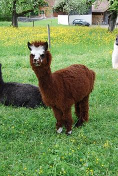 Vermes: Elevage de lamas et alpacas