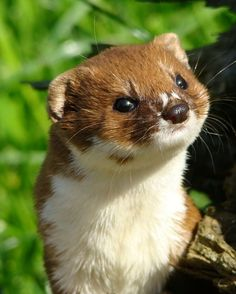 Irish Weasel