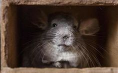 When chinchillas  run, they usually hold their tail down, and this is most probably a defensive tactic, which they would use in the wild to keep their tail from injury or from being noticed and seized by predators. URL: http://chinchilla.co/ FB fan page: https://www.facebook.com/chinchilla.co