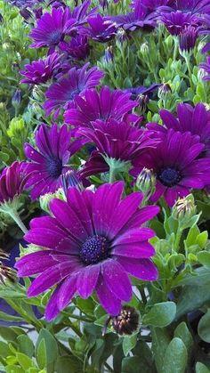 🍃🌹🍃🌷🍃🌹🍃 My Kara loves purple & flowers! These r 4 her always. Amazing Flowers, Colorful Flowers, Purple Flowers, Spring Flowers, Wild Flowers, Beautiful Flowers, Purple Garden, Garden Shrubs, Flower Wallpaper