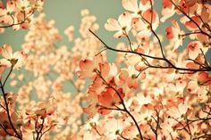 cherry blossom :)