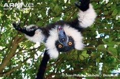 Young black-and-white ruffed lemur playing