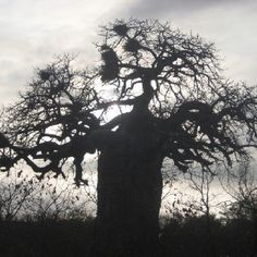 The one and only baobab One And Only, Africa, Silhouette, Celestial, Outdoor, Art, Outdoors, Art Background, Kunst