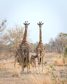 Observe giraffes in their natural habitat when you go on a  Safari in #Africa.